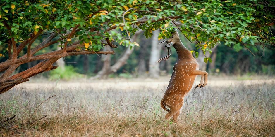 Cerf axis dans son milieu naturel